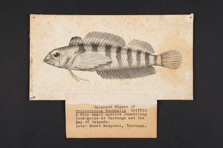 Tripterygion bucknilli n. sp. Griffin.