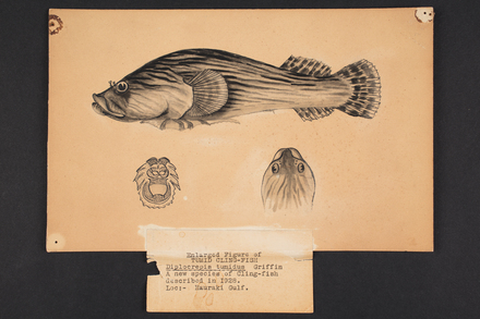 Diplocrepis tumidus n. sp. Griffin.