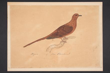 Pigeon of San Cristoval