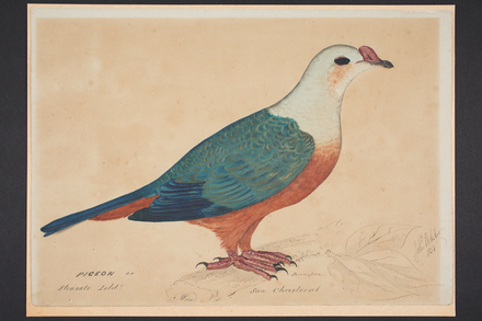 Pigeon of Stewart's Isld and San Christoval