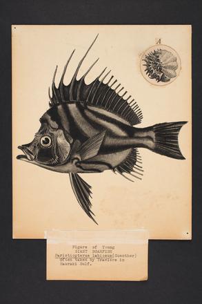 Paristiopterus labiosus (Guenther).