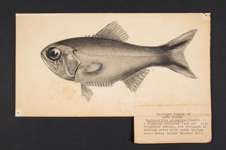 Hoplostethus elongatus (Guenther).
