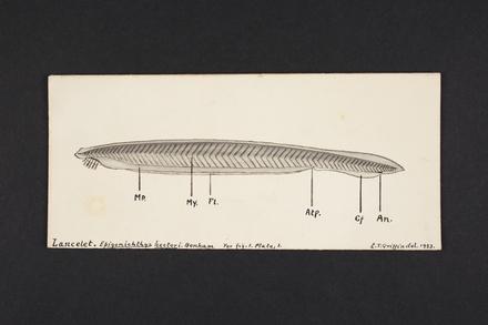 Lancelet. Epigonichthys hectori. Benham.
