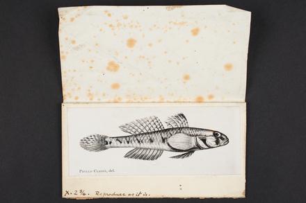 Gobius lateralis Mcleay (var. obliquus).