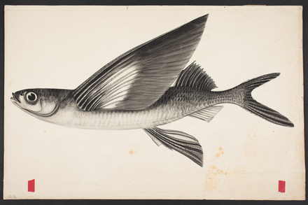 Gypselurus melanocercus