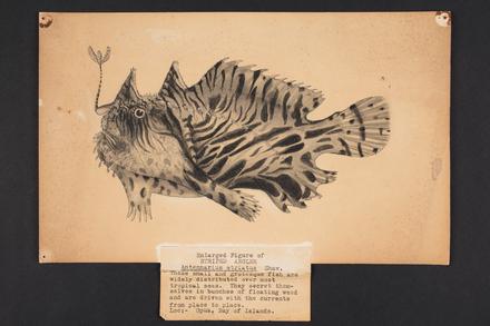 Antennarius striatus, Shaw.
