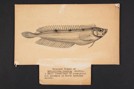 Ophioclinus venusta Griffin.