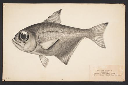 Pempheris compressa Shaw 1920