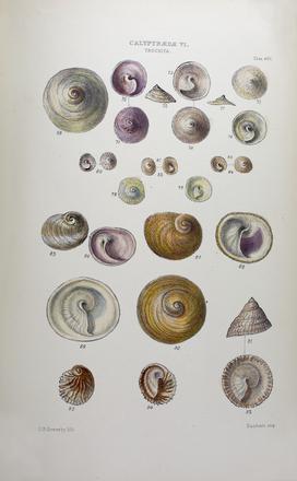 Thesaurus conchyliorum, or Monographs of genera of shells