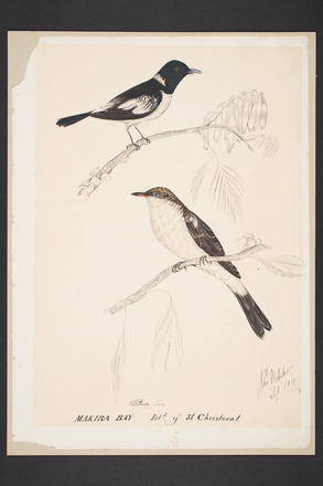 Birds from Makira Bay Isld of St Christoval [sic]