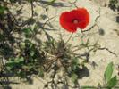 27 April 2015 Poppy near site of second battle of Krithia - All rights reserved.