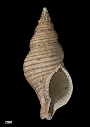 Buccinulum linea