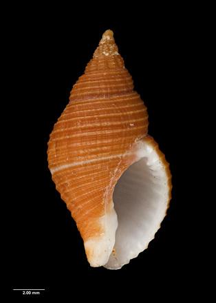 Cantharus (Pollia) wrightae