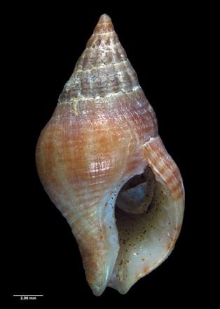 Buccinulum vittatum vittatum