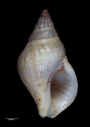 Buccinulum (Euthrena) motutaraense