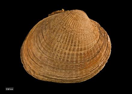 Chione (Austrovenus) aucklandica