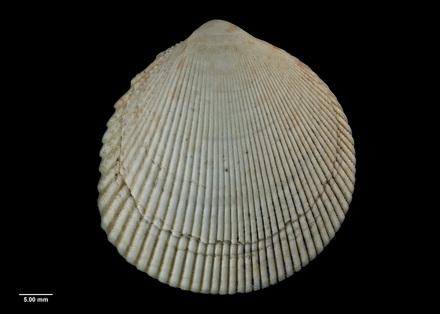Trachycardium (Vasticardium) sorenseni