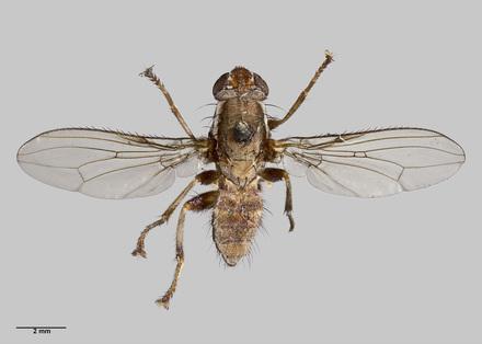 Helosciomyza simillima