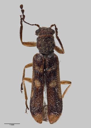 Phymatophaea maorias