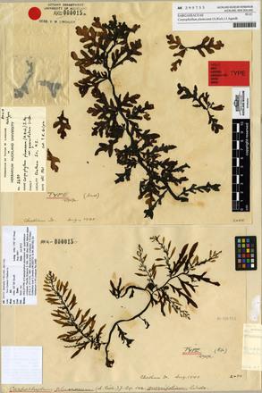 Carpophyllum plumosum