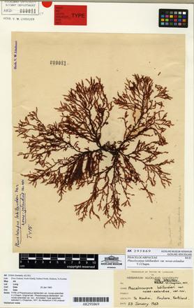 Phacelocarpus labillardieri novae-zelandiae