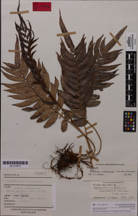 Blechnum montanum