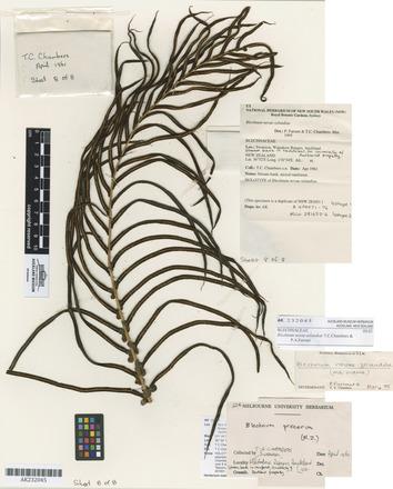 Blechnum novae-zelandiae