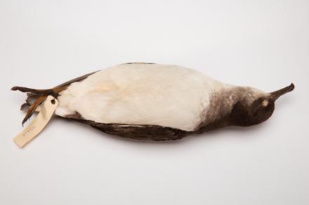 Puffinus gavia