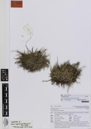 Carex applanata
