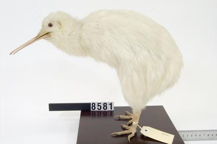 Apteryx mantelli